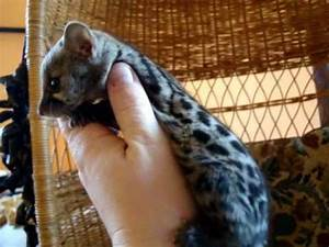 Baby Spotted Genet Playing, Our Pet genet, Genets as pets ...