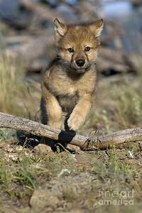 Gray Wolf Cub Running Photograph by Jean-Louis Klein