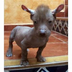 17 Best images about Hairless dog awesomeness on Pinterest ...