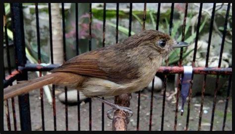 Tubuh burung pleci betina cenderung lebih pendek dan juga membulat. Gambar Burung Flamboyan Jantan Dan Betina | Gambar Burung Wallpaper