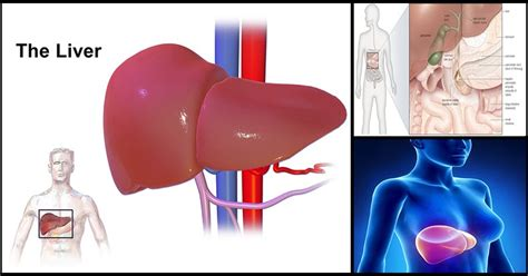 Study Liver Size Increases By 50 When Processing
