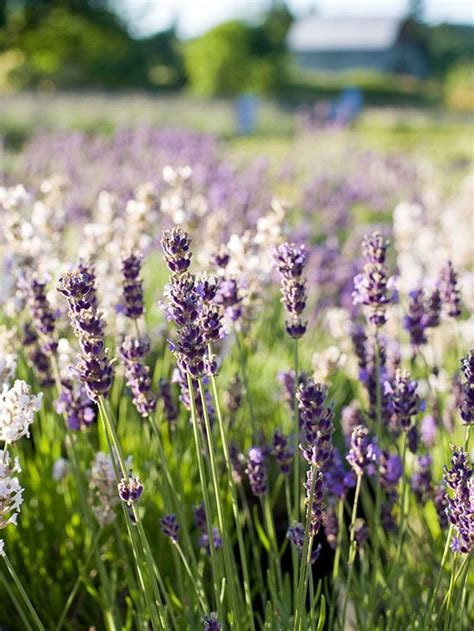 when should you plant lavender 397 best images about landscaping for zone 3 on pinterest gardens creeping phlox and bleeding