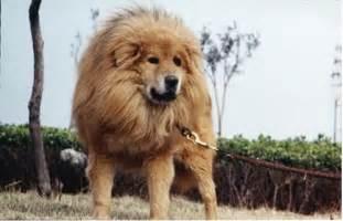 Tibetan Mastiff Looks Like Lion