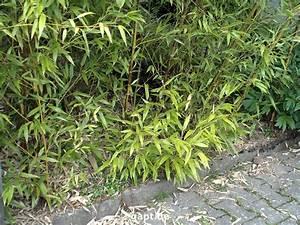 Bambus Vernichten Tipps : welchen bambus f r einen k bel ~ Whattoseeinmadrid.com Haus und Dekorationen