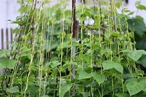 Bohnen Anbauen Anleitung : kletterbohnen anbauen liste der besten stangenbohnen sorten ~ Whattoseeinmadrid.com Haus und Dekorationen