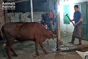 Horrific Cruelty In Vietnam Again Shows Live Export