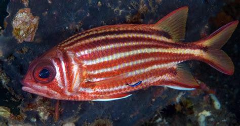 squirrelfish crown fish squirrel saltwater marinefishez