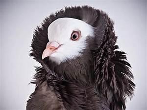 Types of Pigeons - NiceFarming.com  Fancy