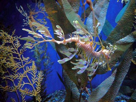 aquarium of the pacific learning center leafy seadragon