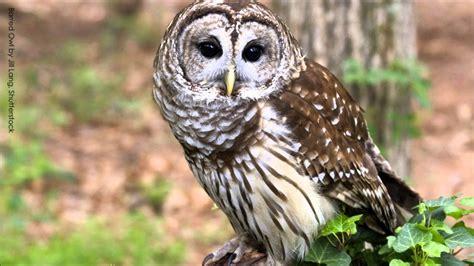 Barred Owl Calls