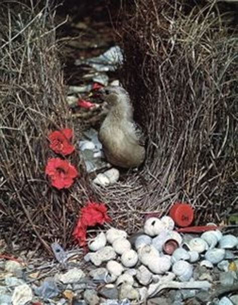 bird decorates nest 1000 images about bowerbird on pinterest nests satin and bird nests