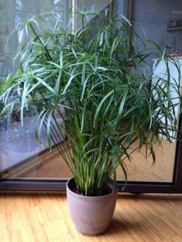 papyrus pflanze kaufen papyrus katzengras cyperus alternifolius zypergras