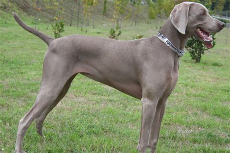 Weimaraner Puppies for Sale from Reputable Dog Breeders