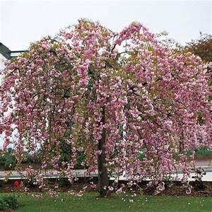 Rosier Tige Pas Cher : acheter cerisier fleurs pleureur pas cher au meilleur prix ~ Dallasstarsshop.com Idées de Décoration