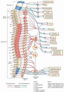 spinal cord and nervous system