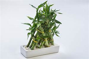 Bambus Als Zimmerpflanze : zimmerbambus arten ein berblick ber die sorten ~ Eleganceandgraceweddings.com Haus und Dekorationen