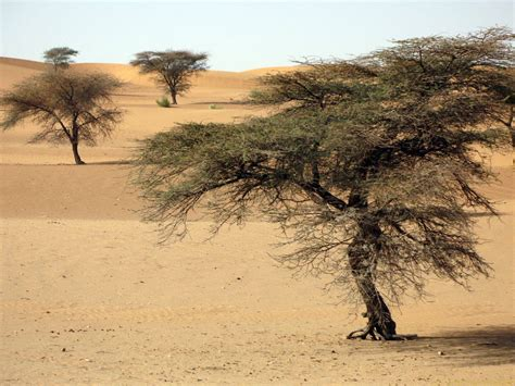 Sand and acacia trees growing here alone, Road of Hope ...