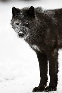 Black Wolves with White Patches