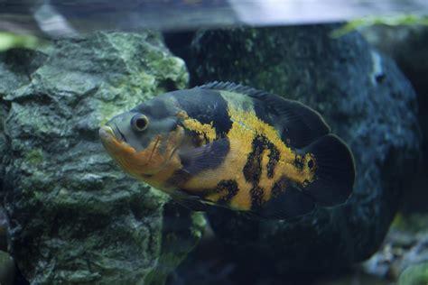 types  oscar fish
