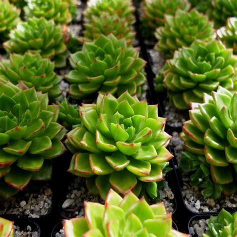 Echeveria affinis - Eddington House Nursery