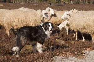 Australia's Working Dogs - Dogslife. Dog Breeds Magazine