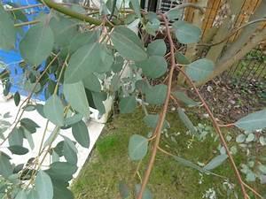 Arbres A Pousse Tres Rapide : arbre qui pousse vite identifie eucalyptus un arbre qui ~ Premium-room.com Idées de Décoration