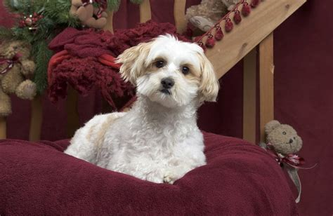 maltipoo haircuts    puppy  cuter