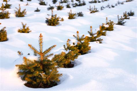 christmas tree farm for sale you can own your own tree farm realtor 174