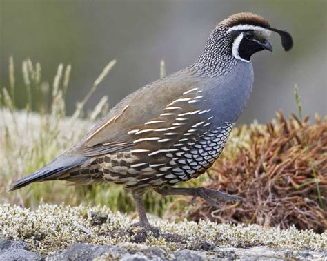Quail Bird  Himalayan Quail Bird Photos Hd Wallpapers. Wallpaper And Paint Ideas Living Room. Brown Furniture Living Room Ideas. Revis Living Rooms. Living Room Lunch Menu. Magazine Living Room Ideas. Gold Couch Living Room. Furniture Arrangement Living Room With Fireplace. Red Paint Colors For Living Room