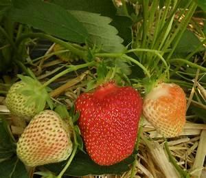 Welche Erdbeeren Sind Die Besten : welche sind die besten erdbeersorten von morgen ~ Lizthompson.info Haus und Dekorationen