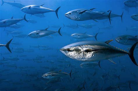 critically endangered species bluefin tuna
