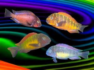 rainbow aquarium tropheus moorii cichlids