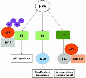 Schematic Diagram Of Human Papillomavirus  Hpv  E6 And E7