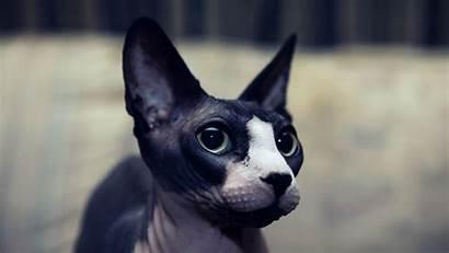 Sphynx Cats Cat Muso Nero Facts Gatto