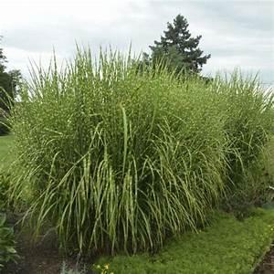 Miscanthus Sinensis Strictus : miscanthus sinensis 39 strictus 39 walters gardens inc ~ Michelbontemps.com Haus und Dekorationen