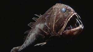 Fangtooth Fish (Anoplogaster Cornuta) - Deep Ocean, Large ...