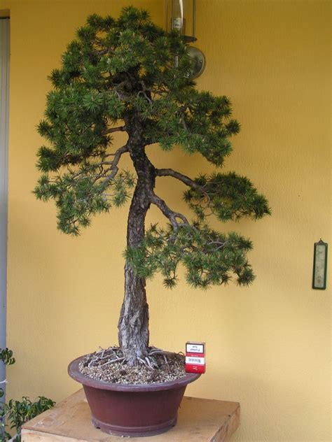 choix d un pot pour un pin sylvestre