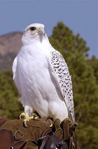 Academy protects falcons from West Nile > U.S. Air Force ...