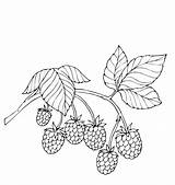 Coloring Berries Fruit Fruits sketch template