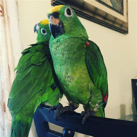 Amazon Parrots for Sale - Exotic Pet Birds Inc.