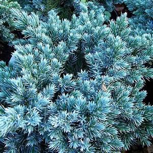 Plant Pictures: Juniperus squamata - 'Blue Star' (Juniper ...