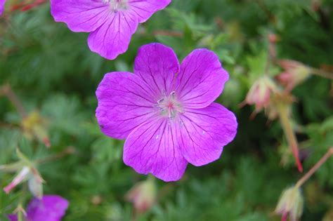 picture of geranium flower geranium