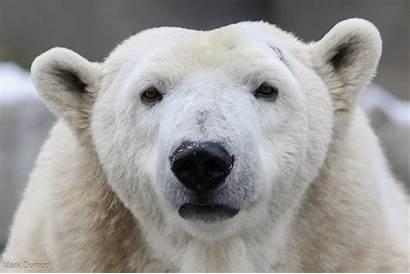 Polar Bears Plunge Bear Zoo Thermostat Degrees
