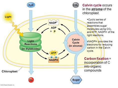 Atp Cycle Diagram Pearson