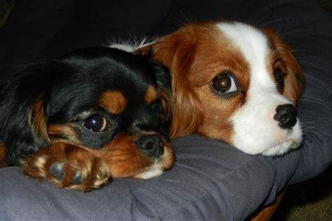 empecher un chien de monter sur le canape emp 234 cher mon chien de monter sur le canap 233