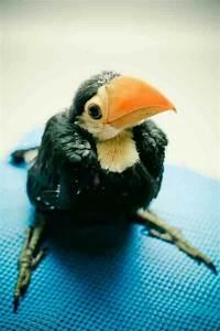 Cute Baby Toucans | www.pixshark.com - Images Galleries ...