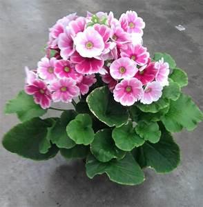 Plante Fleurie Intérieur : plantes fleuries d 39 interieur ~ Premium-room.com Idées de Décoration