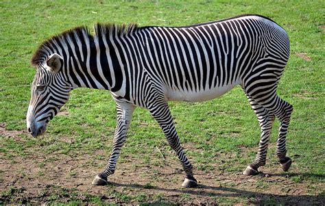Zebra  Wikimedia Commons
