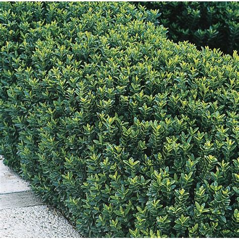 green shrubs shop 2 84 quart green spire euonymus accent shrub l8158 at lowes com