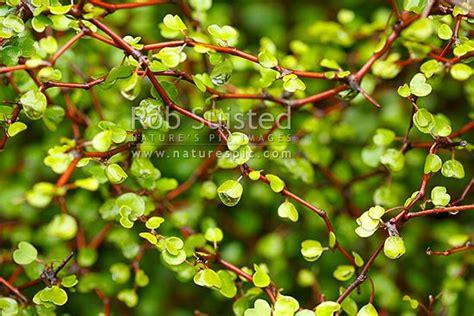 zig zag bush  nationally vulnerable native shrub